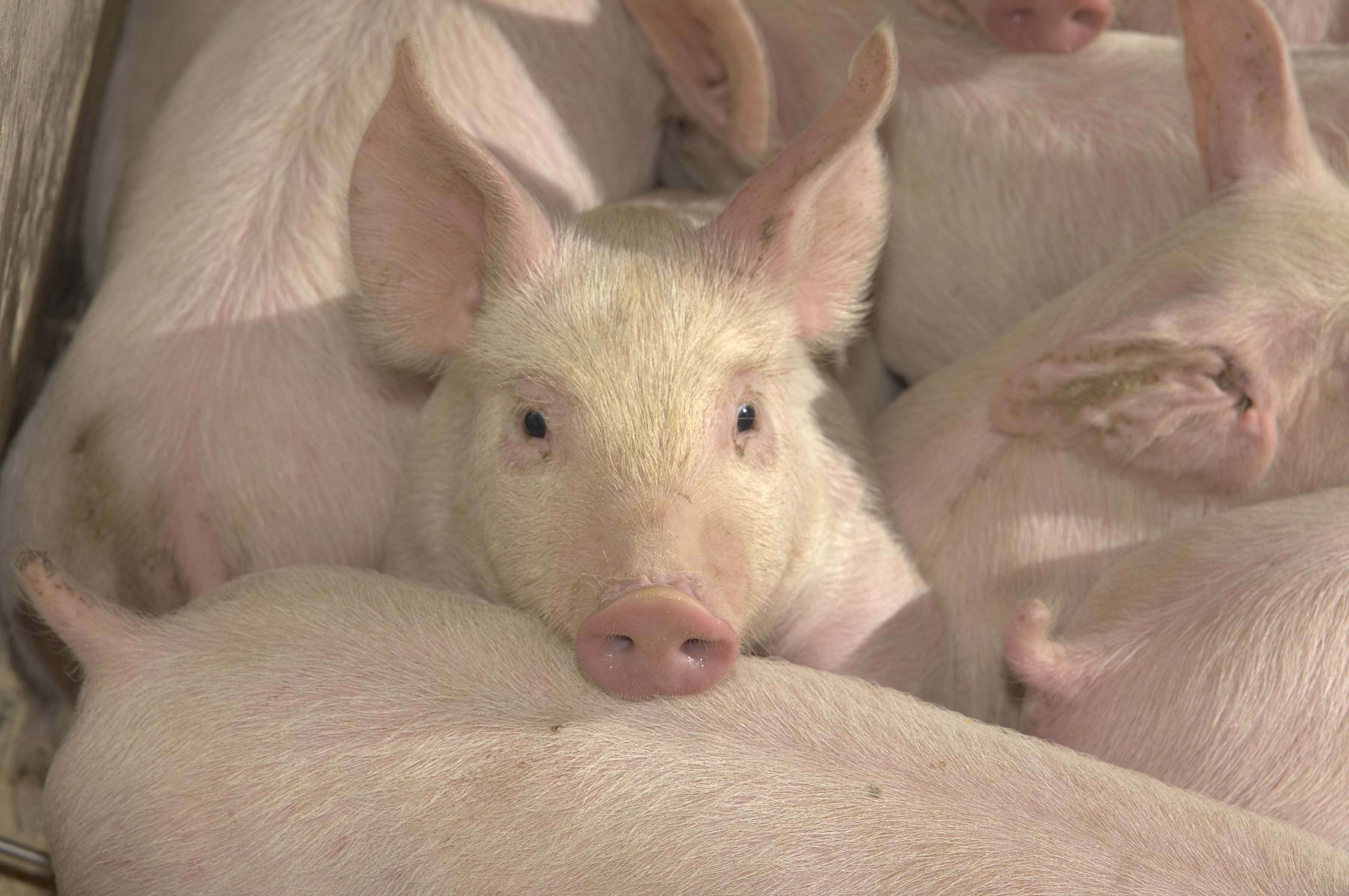 Image:United_Soybean_Board_PHOTO_-_Pig_resting_his_head.jpg
